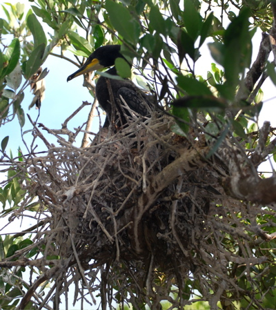 Doubled-crested Cormorants in nest171325.tmp/BZBIWHITESTORKS.jpg